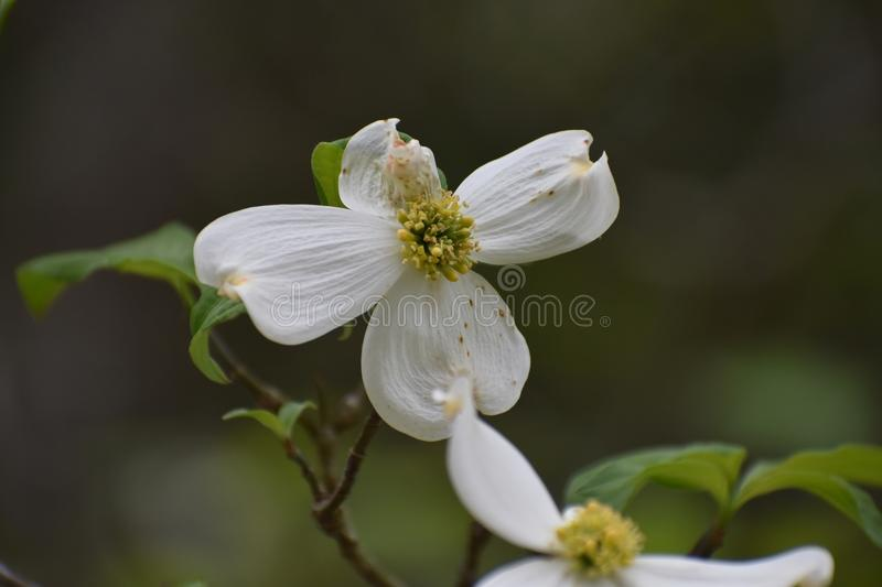 Dogwood Flowers in East Texas. This was taken in East Texas, I was driving and looking for flowers. FYI Dog wood trees are all around Lake Lydia in Quitman Texas royalty free stock photo