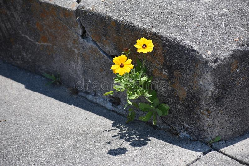 Flowers in a Concrete Joint at the Oleander Cemetery in Galveston Texas. This was taken in May of 2018 in South Texas while looking at Wild flowers royalty free stock images