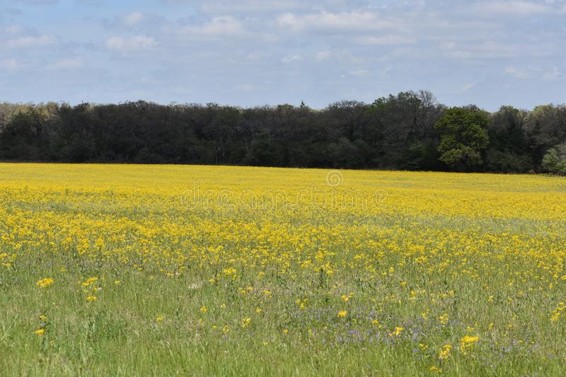 Field of yellow wild flowers in South Texas. This was taken in South Texas, while driving around looking for nice patches of flowers stock photos
