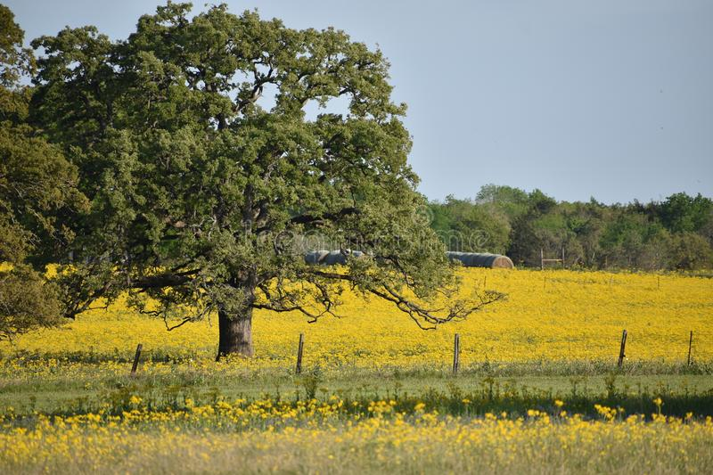 Wildflowers in South Texas. This was taken in South Texas near Rogers Texas, i was driving looking for flowers stock image