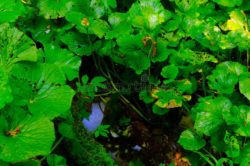 Download Wasabi stock photo. Image of japanese, healthy, herb - 26476452