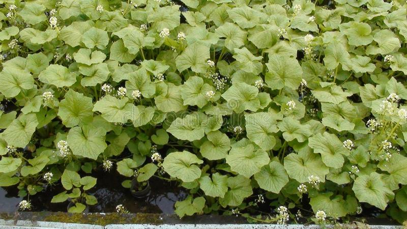 Wasabi. Is a seasoning made from grinding the stem of the Canola Japanese horseradish plant into a herbaceous plant. A traditional Japanese herb. Can be planted stock photo