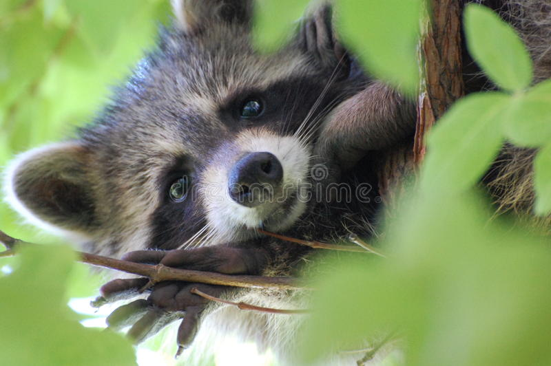 Wasbeer stock foto's