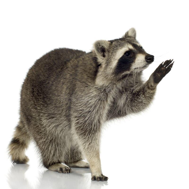 Wasbeer (9 maanden) - lotor Procyon stock afbeeldingen