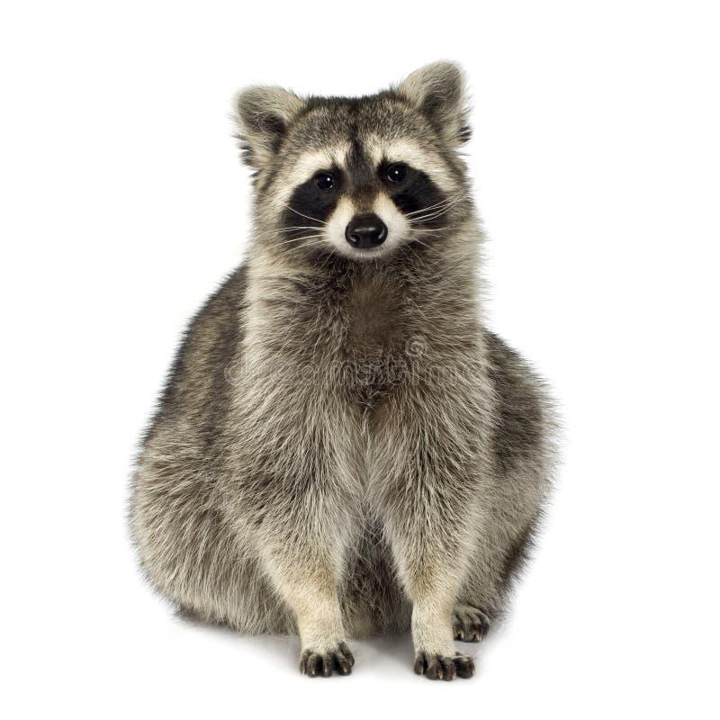 Wasbeer (9 maanden) - lotor Procyon stock foto's