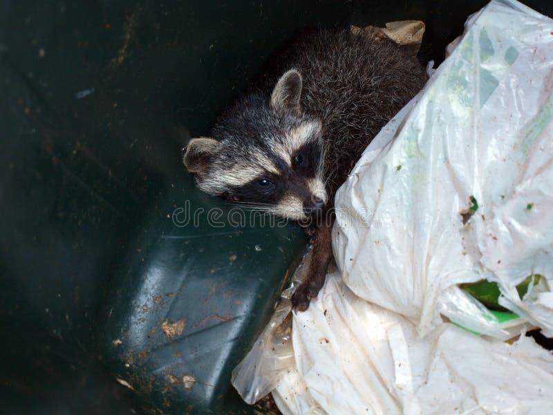 Wasbeer in afval royalty-vrije stock fotografie