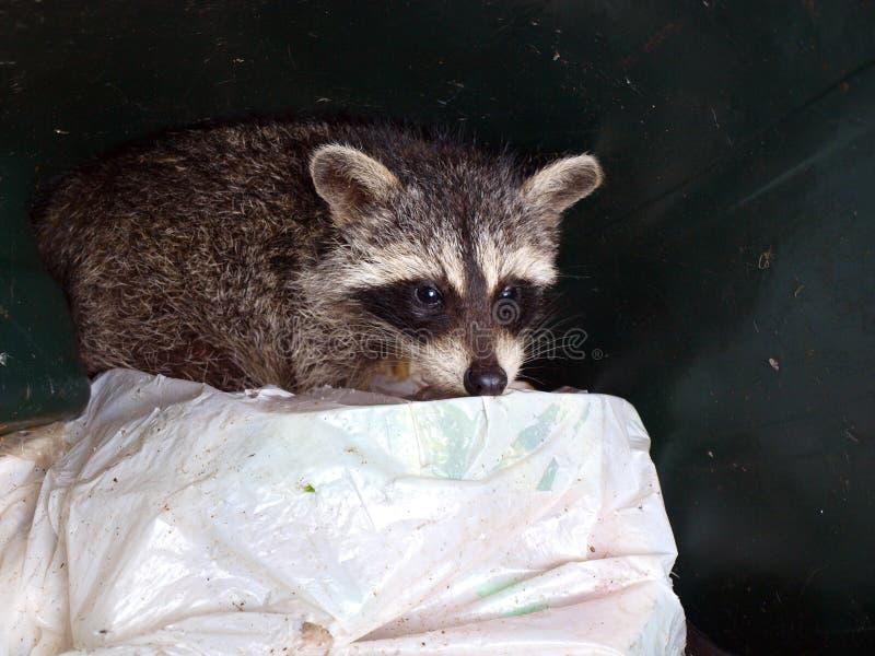 Wasbeer in afval royalty-vrije stock foto