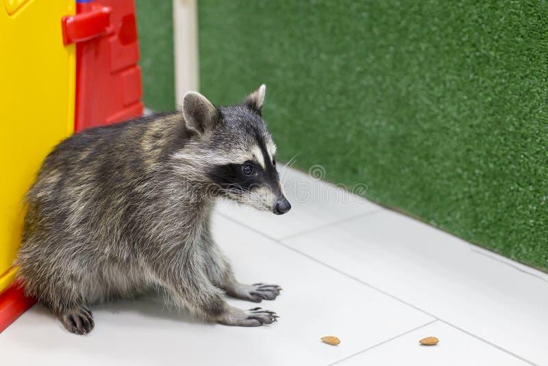 Wasbeer bij de dierentuin, royalty-vrije stock afbeeldingen