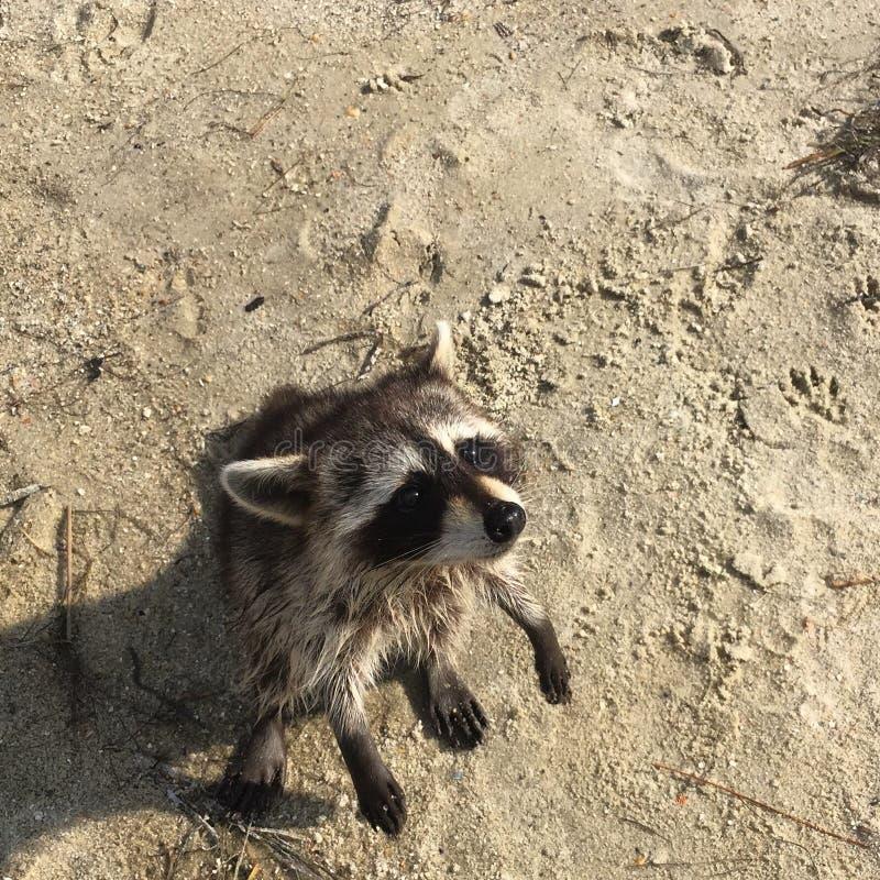Wasbeer bij het strand stock foto's