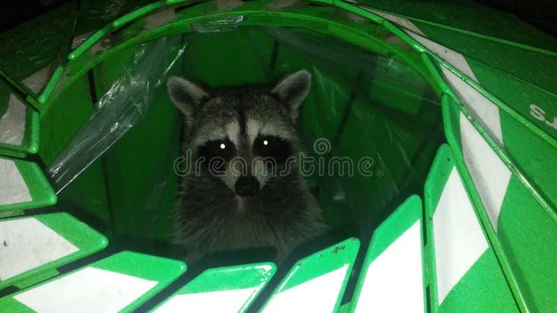 Wasbeer, de Zitting van Procyon Lotor in Groene Kringloopvuilnisbak tijdens Regen in Avond royalty-vrije stock foto's