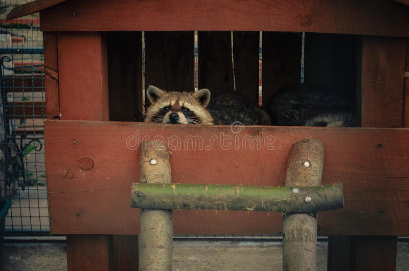 Wasbeer die de camera onderzoeken stock foto