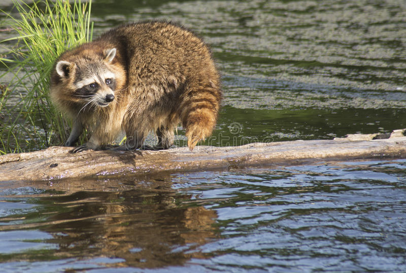 Wasbeer die een logboek lopen die in water vissen royalty-vrije stock afbeeldingen