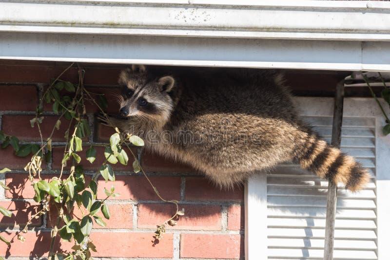 Wasbeer die in Huis in Toronto, Canada breken royalty-vrije stock afbeeldingen