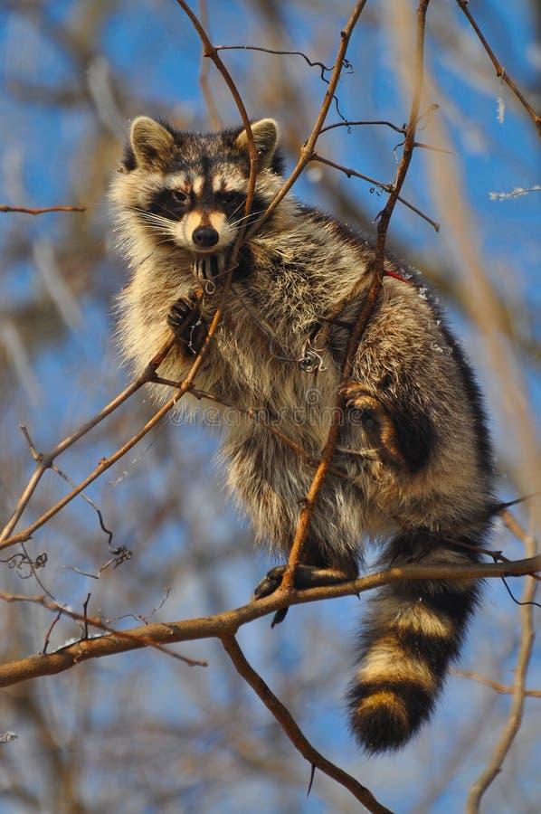 Wasbeer in een boom royalty-vrije stock fotografie