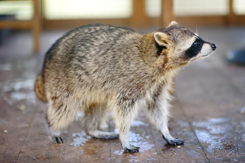 Wasbeer in een kooi van dierentuin stock afbeeldingen