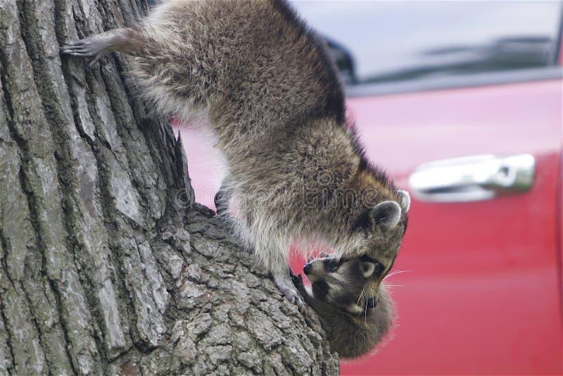 Wasbeer en babyvlucht van boom stock foto's