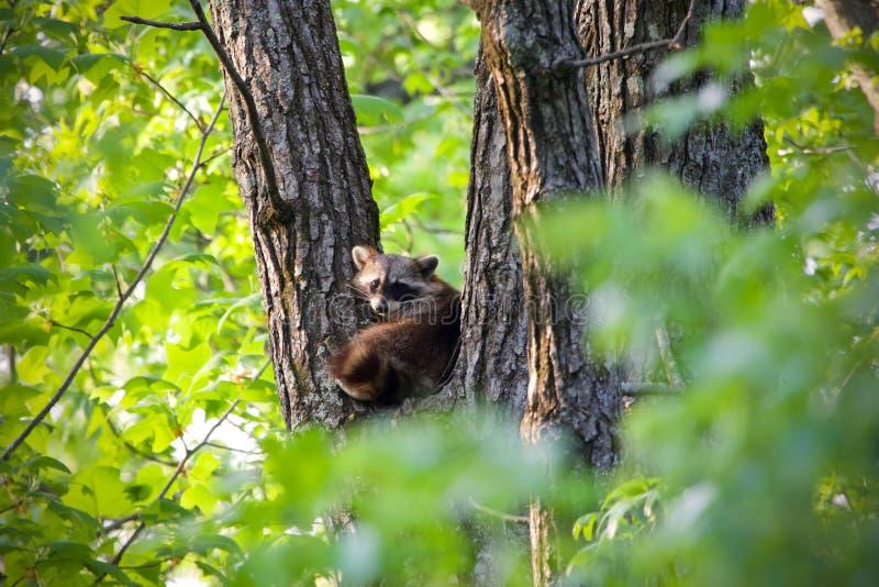 Wasbeer het lounging in een boom tijdens de middag stock fotografie