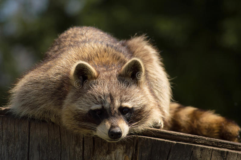 Wasbeer op een logboek stock fotografie