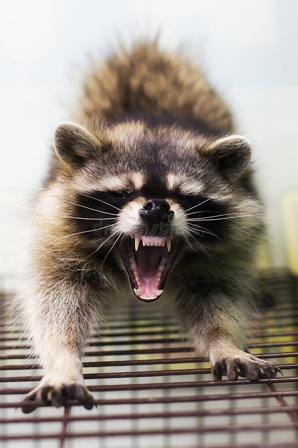 Wasbeer, open mond, tanden stock fotografie
