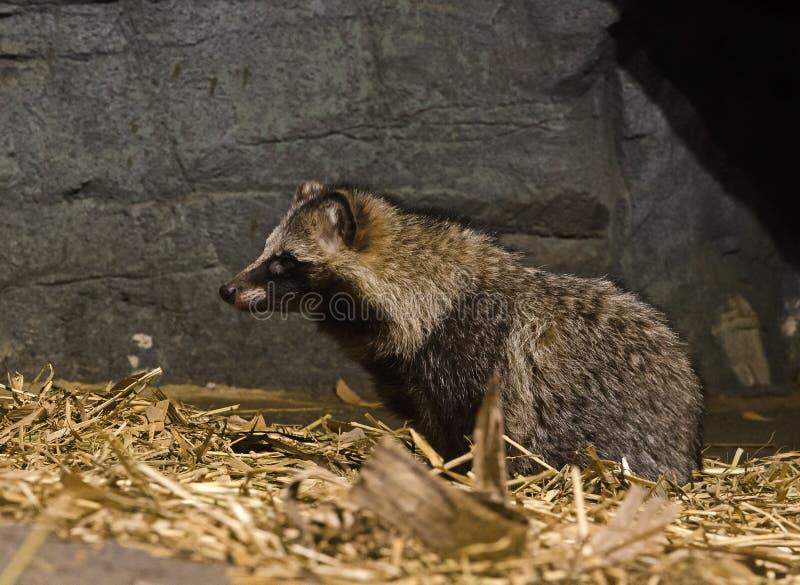 Wasbeerhond stock foto's
