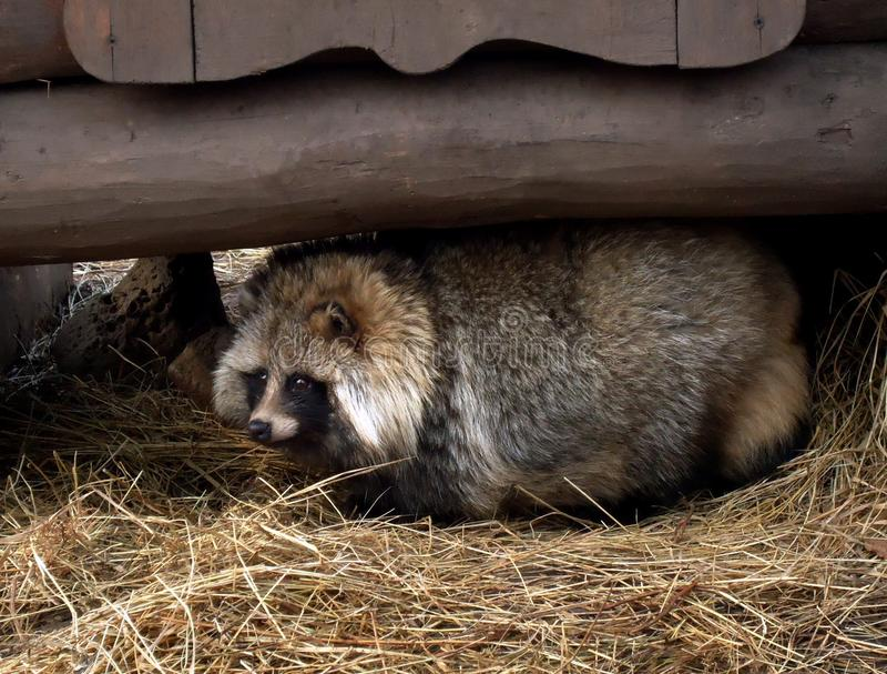 Wasbeerhond royalty-vrije stock afbeelding