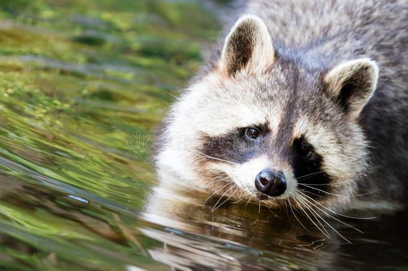 Waschbär, der in der Ufergegend sich wäscht stockfotografie