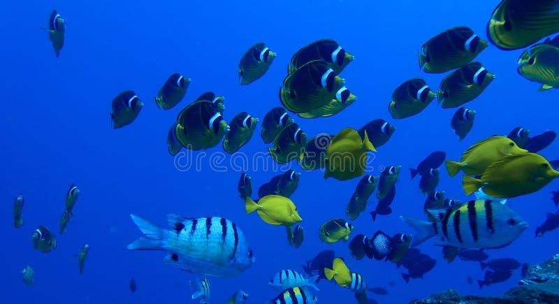 Waschbär-Schmetterlings-Fische und andere tropische Fische Unterwasser in Blauem lizenzfreie stockbilder
