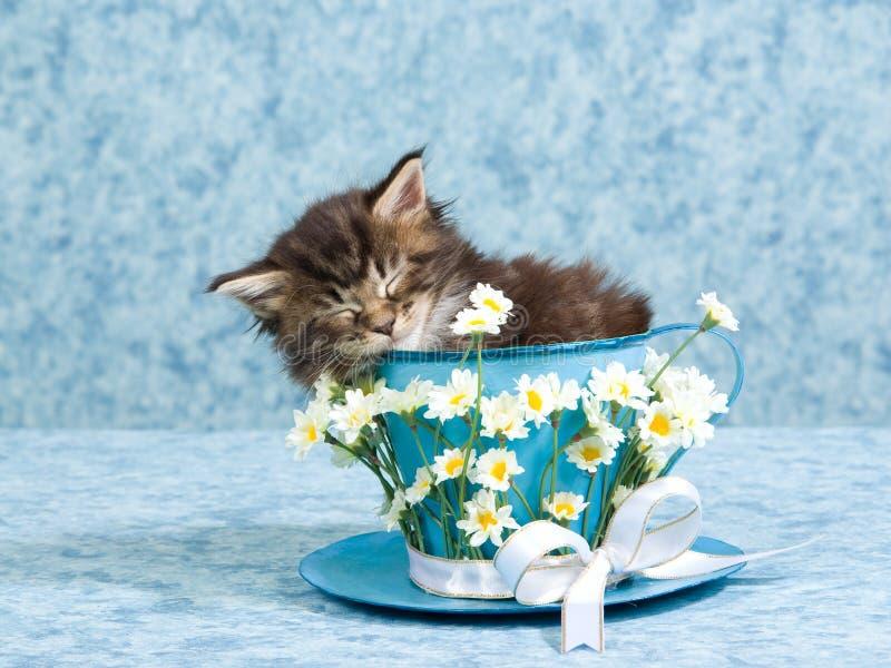 Waschbärkätzchen Schlafensmaine im Großen Teecup lizenzfreie stockfotos