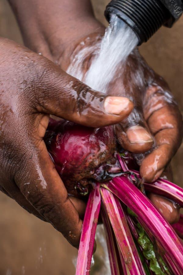 Waschen von frisch ausgewählten Rote-Bete-Wurzeln im Wasser stockfoto