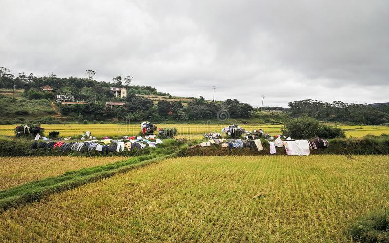 Washed clothes being dried on bushes - traditional method of drying laundry in Madagascar - rice fields in foreground stock photography