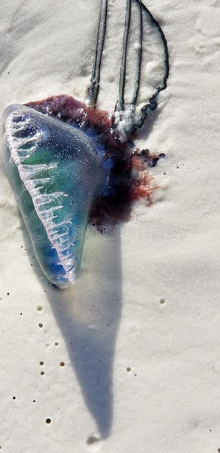 Washed up Jellyfish royalty free stock images