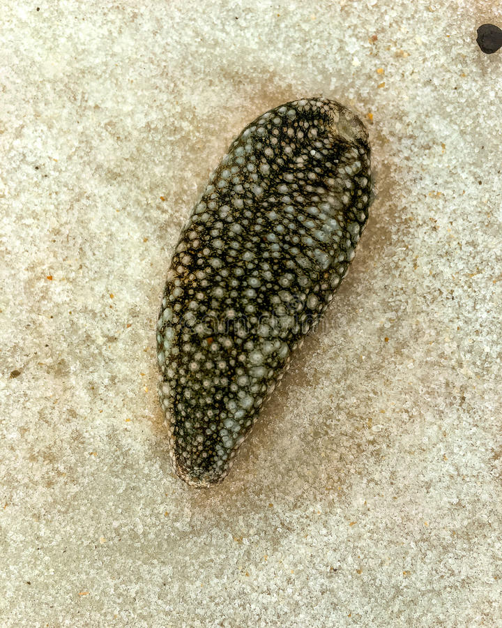 Washed Up Sea Slug. Sea slug is a common name for some marine invertebrates that are actually sea snails marine gastropod mollusks that over evolutionary time stock image