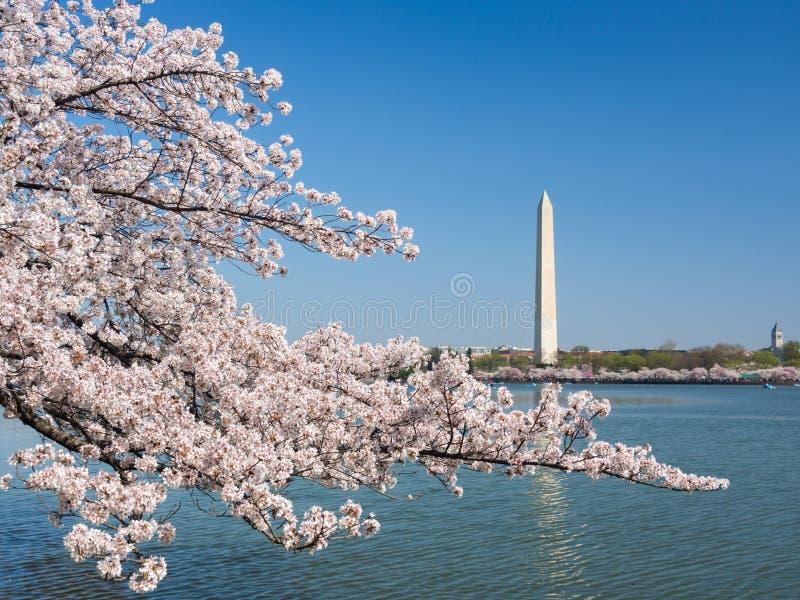 Washington Cherry Blossoms stockfoto