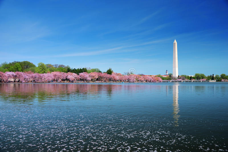 Washington DC cherry blossom royalty free stock image