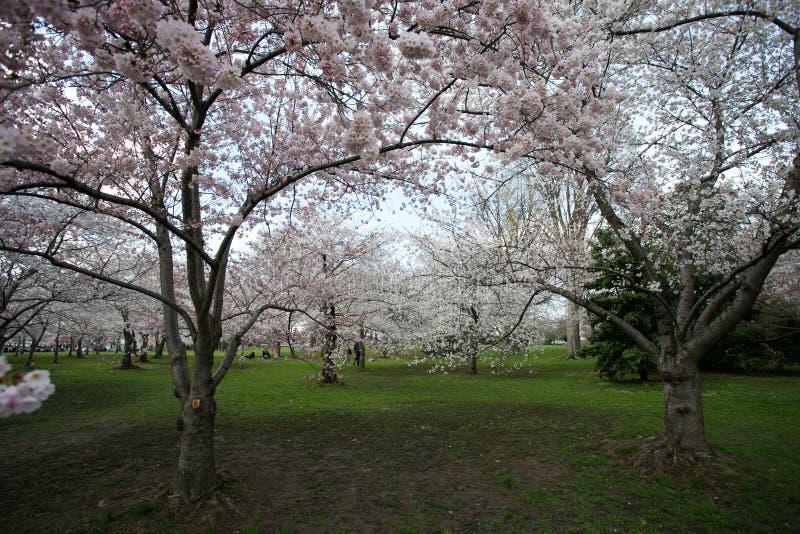 Washington DC cherry blossom royalty free stock image