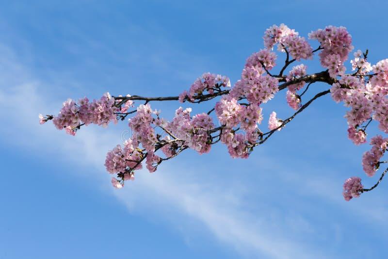 Washington DC cherry blossom stock photography