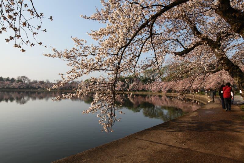 Washington DC Cherry Blossoms Festival Spring Royalty Free Stock Image