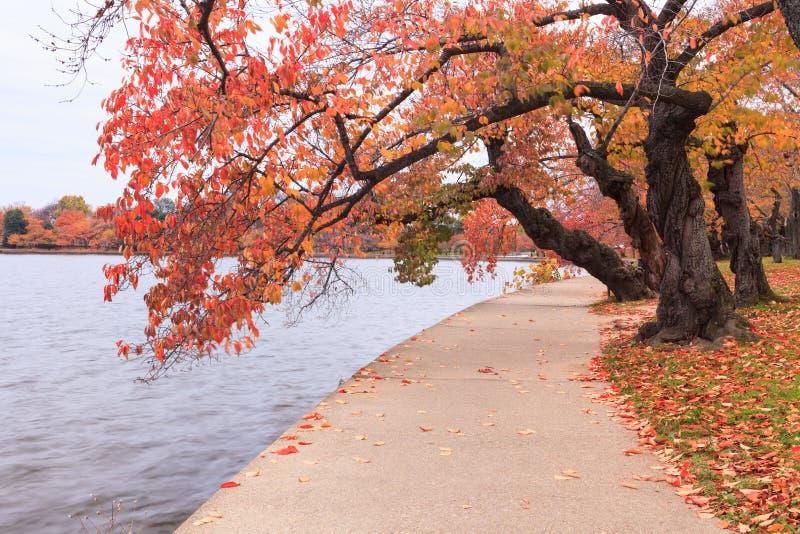 Washington DC Czereśniowi drzewa w jesieni zdjęcie royalty free