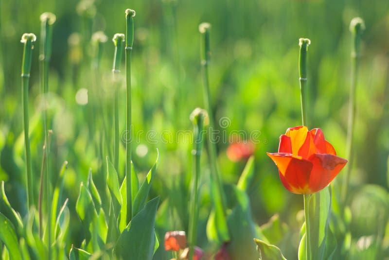 Washington DC holandés de la biblioteca del tulipán del carillón fotografía de archivo