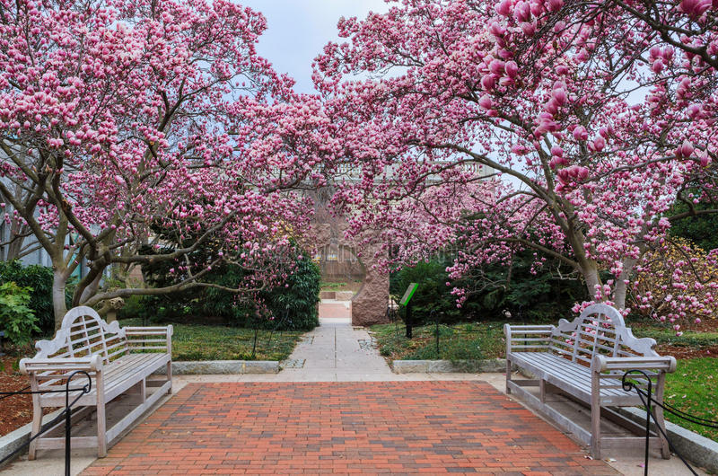 Download Washington DC Magnolia Garden Spring Stock Photo - Image of  garden, pink: 68344650