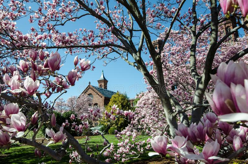 Washington DC - Maj 1, 2018: Blomma magnoliablomningträd inrama den Smithsonian slotten på National Mall i Washington DC royaltyfria bilder