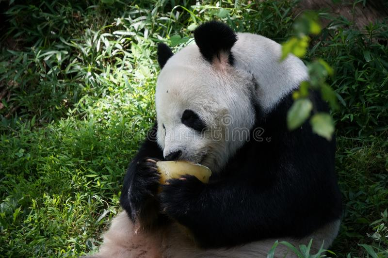 Giant panda eating food some fruit in the middle of green forest in Smithsonian`s National Zoo. Close up side view. stock image