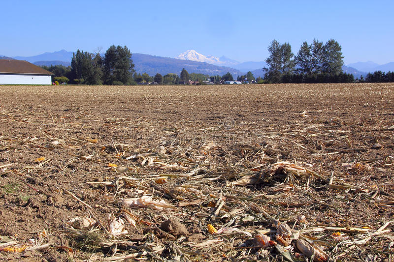 After the Washington Harvest. A harvested corn field in site of Mount Baker in Washington State stock photography