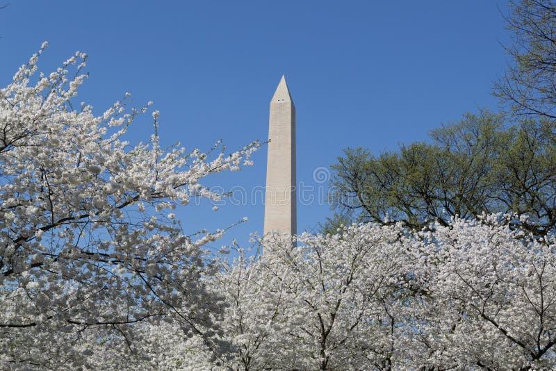Washington Memorial och körsbärsröda blomningar royaltyfri bild