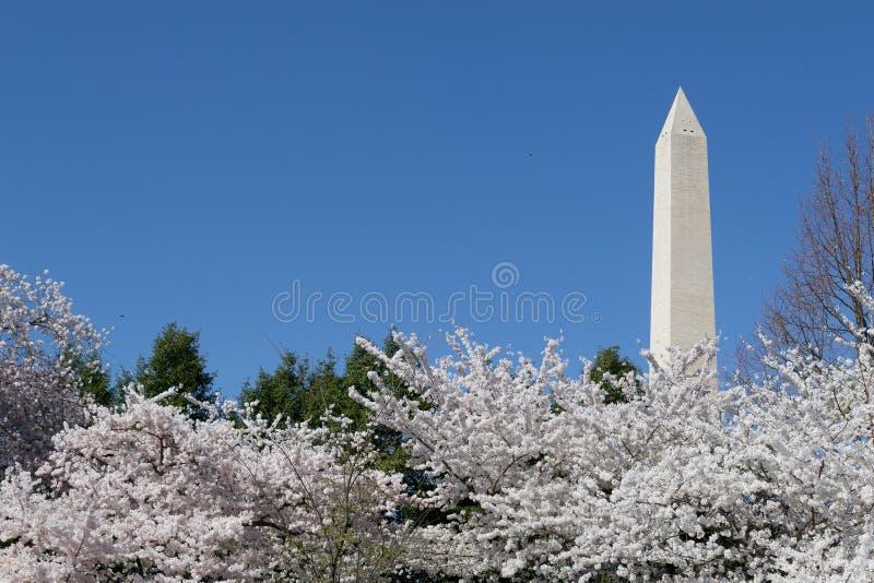 Washington Memorial som har uppsikt över festivalen för körsbärsröd blomning arkivfoto