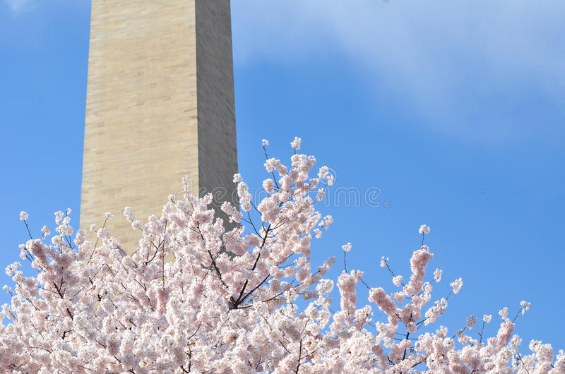 Washington Monument Cherry Blossoms images stock
