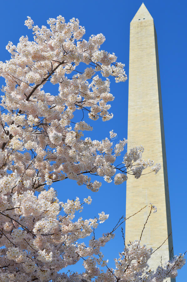 Washington Monument e Cherry Blossom Tree fotografia stock libera da diritti