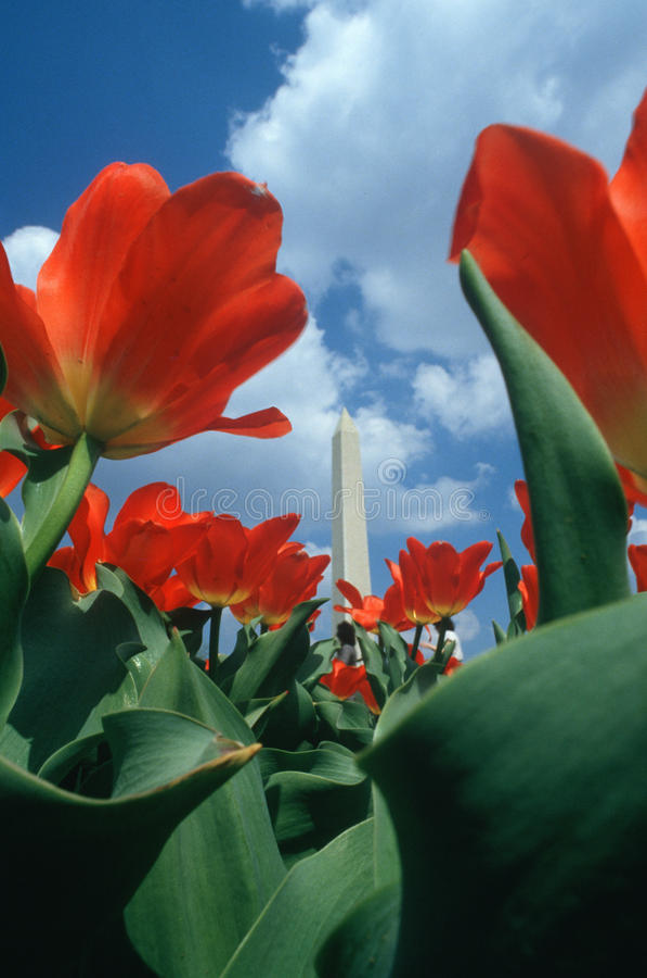 Washington Monument With Tulips Royalty Free Stock Images