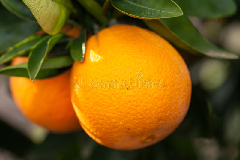 Washington Navel oranges on tree branch. California organic oranges on tree branch Washington Navel oranges stock photography