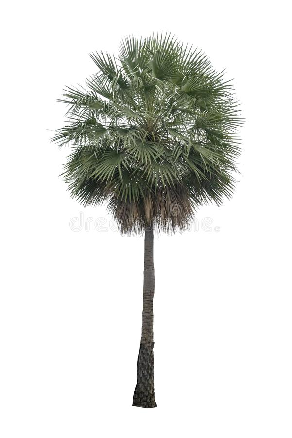 Washington Palm Tree a isolé sur le palmier blanc de backgroundWashington d'isolement sur le fond blanc avec une haute résolution photo libre de droits
